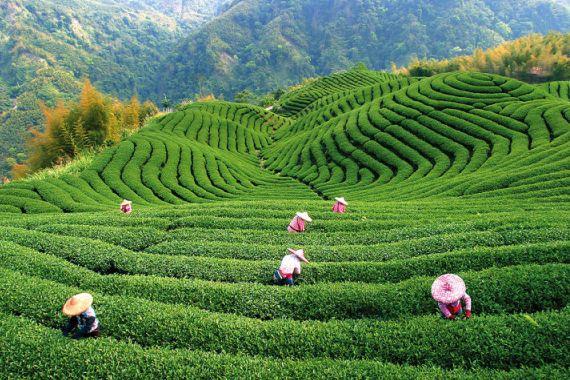 Так растет настойщий чай