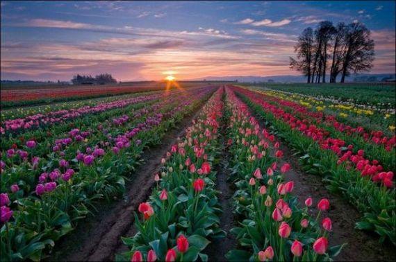Нидерланды - страна тюльпанов