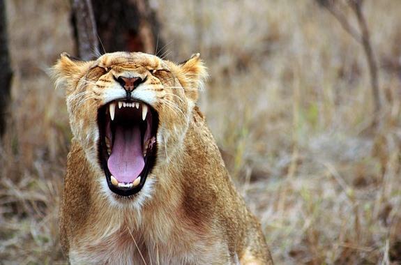 Львица, фото с сафари