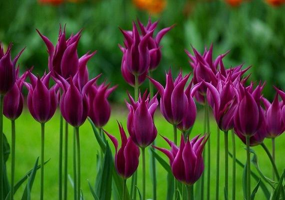 Уникальные турецкие тюльпаны