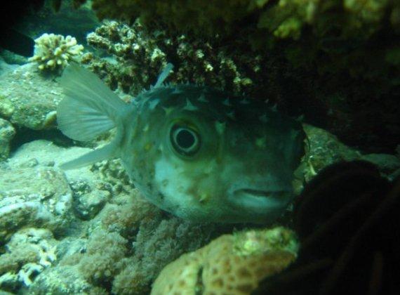 Рыбка спряталась от дайвера, Шарм-эль-Шейх