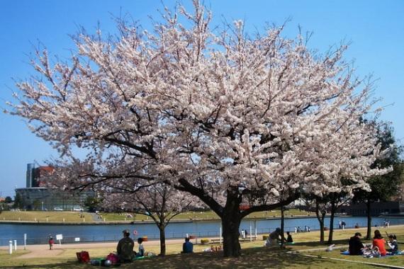 Ханами - праздник цветения сакуры в Японии