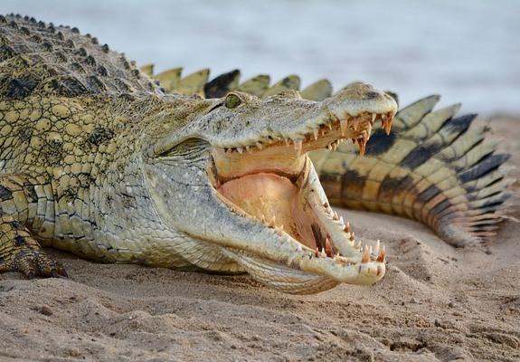 Крокодил, фото с сафари