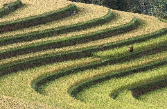 Рисовая терраса